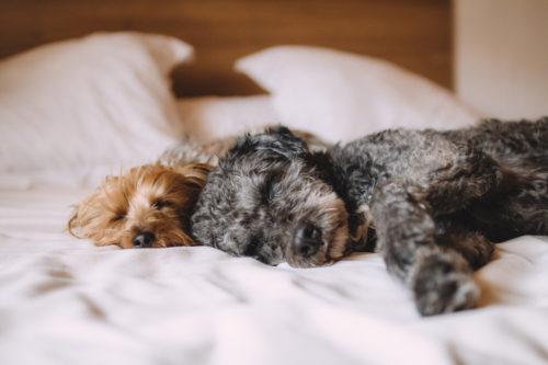 静かに寝ている犬2匹